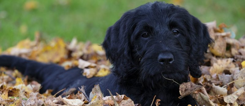 black dog in the leaves
